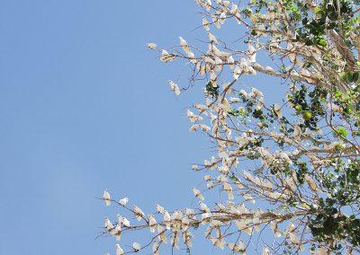 kakadu tree