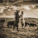 Livno's Wildpferde