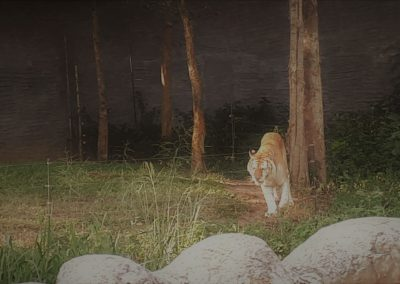 Tiger Bimo