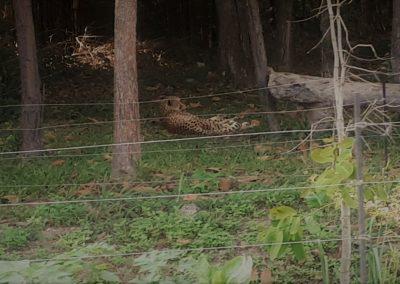 gepard bruno